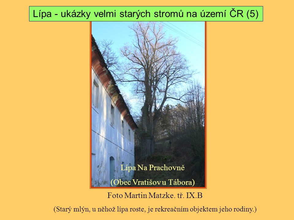Lípa - ukázky velmi starých stromů na území ČR (5)