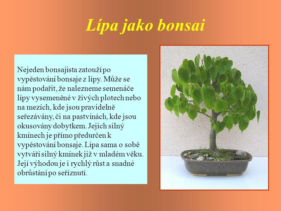 Lípa jako bonsai