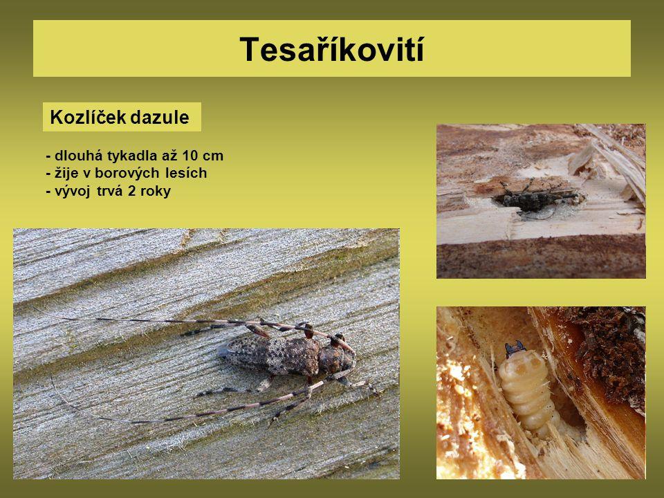 Tesaříkovití Kozlíček dazule - dlouhá tykadla až 10 cm