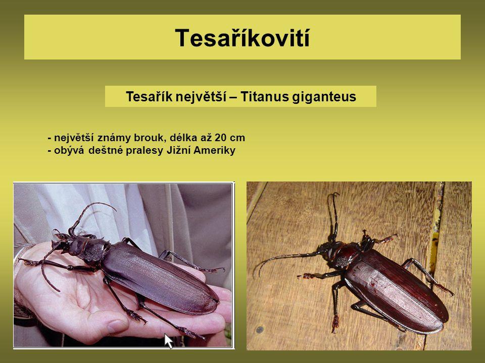 Tesařík největší – Titanus giganteus