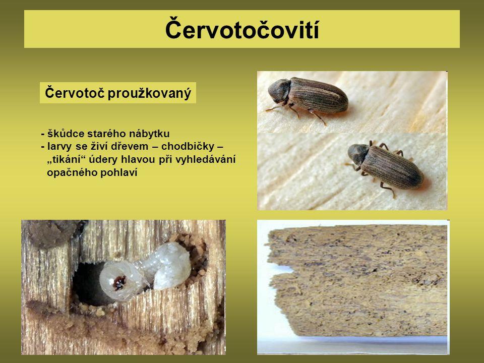 Červotočovití Červotoč proužkovaný - škůdce starého nábytku