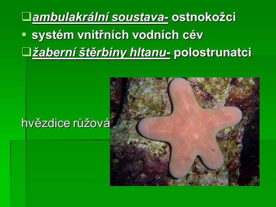 ambulakrální soustava- ostnokožci