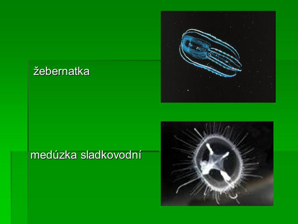 žebernatka medúzka sladkovodní