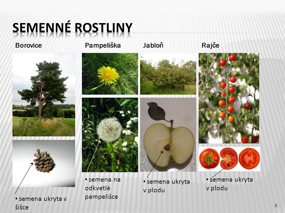 Semenné rostliny Borovice Pampeliška Jabloň Rajče