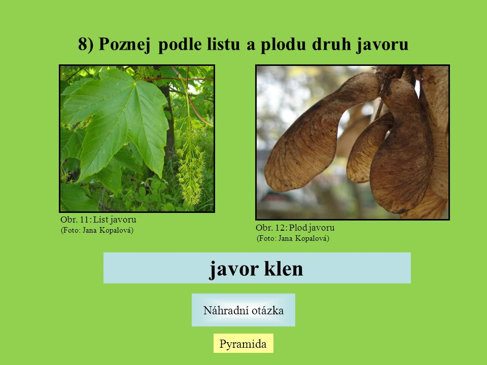 8) Poznej podle listu a plodu druh javoru