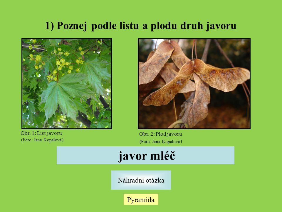 1) Poznej podle listu a plodu druh javoru