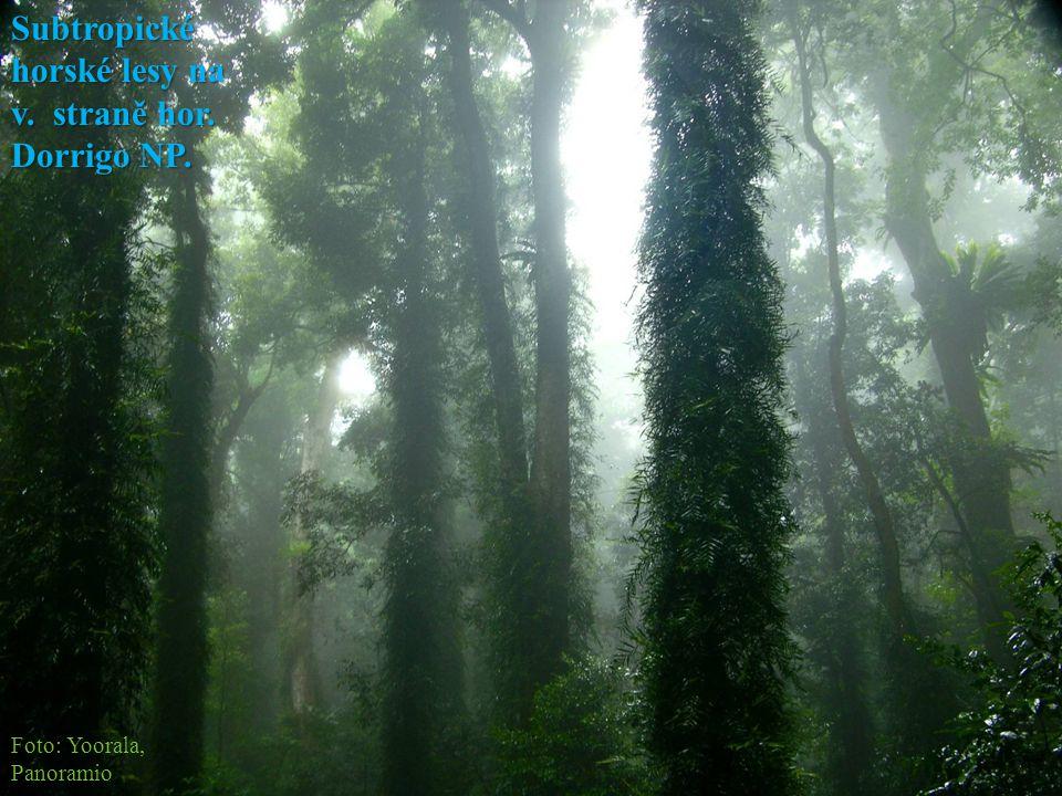 Subtropické horské lesy na v. straně hor. Dorrigo NP.