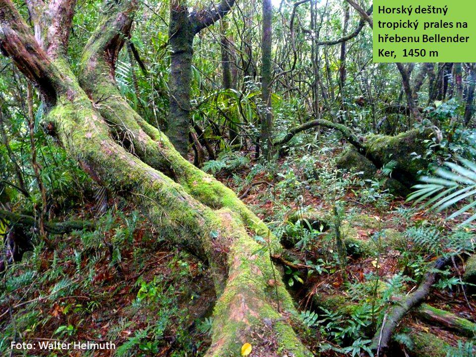 Horský deštný tropický prales na hřebenu Bellender Ker, 1450 m