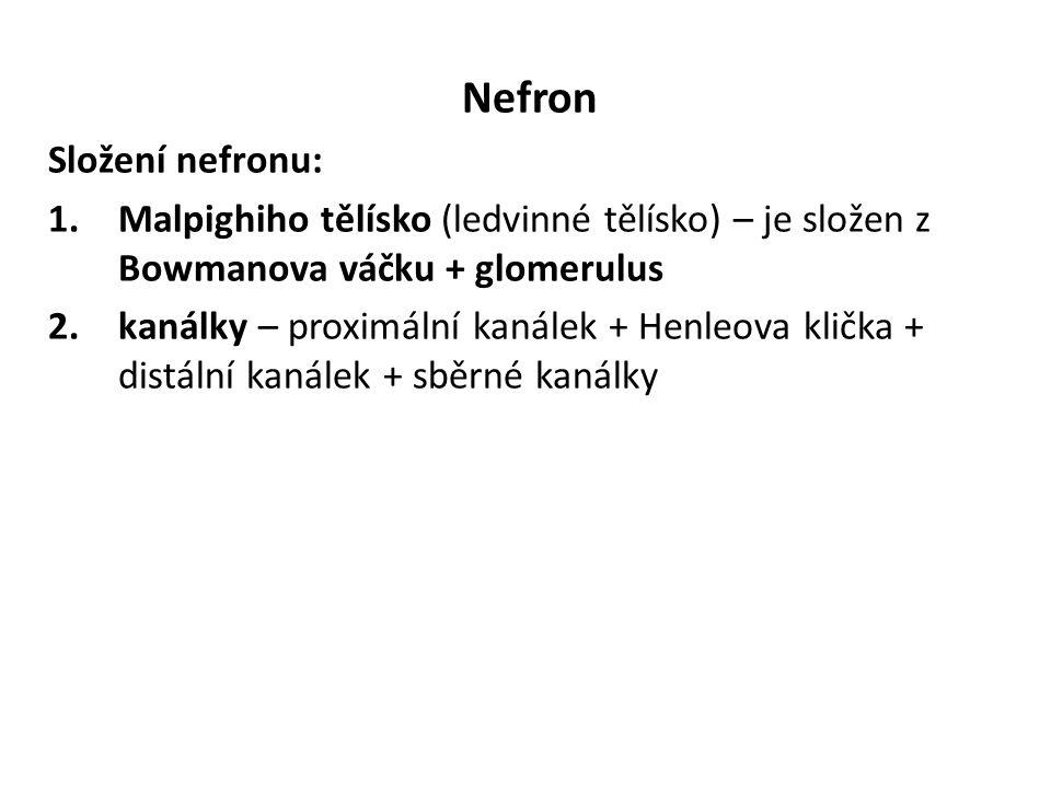 Nefron Složení nefronu: