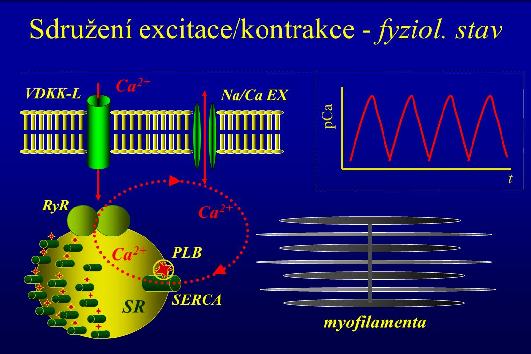 Sdružení excitace/kontrakce - fyziol. stav