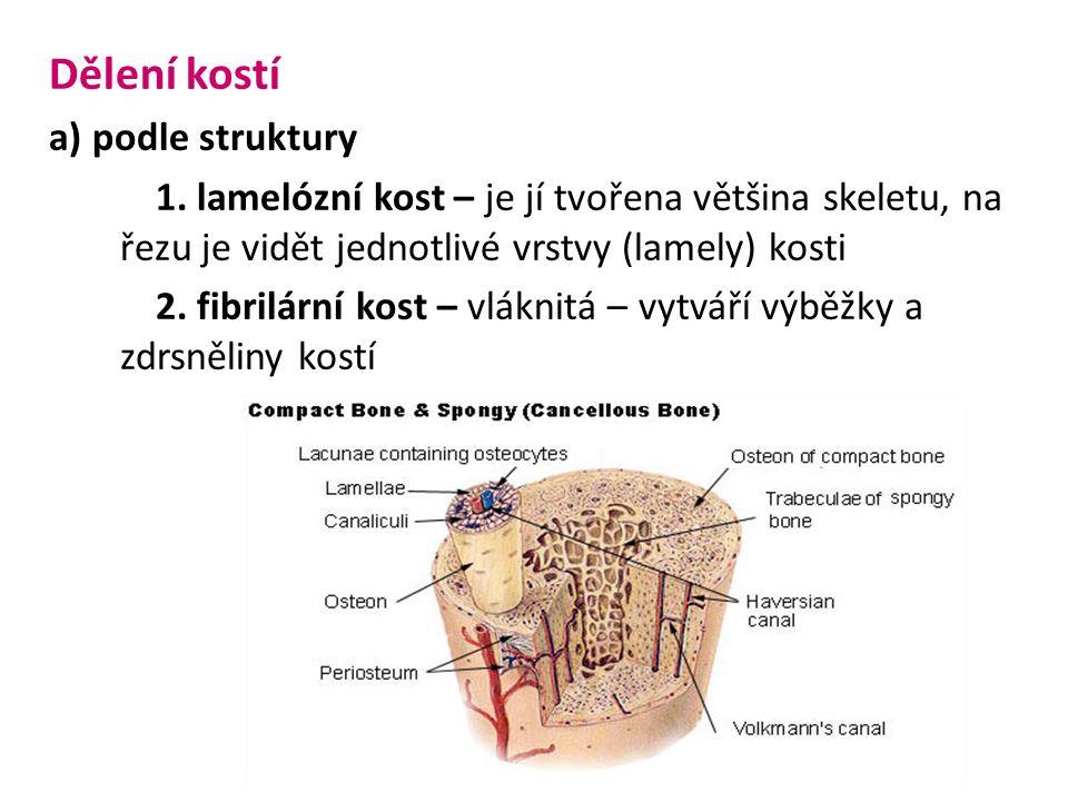 Dělení kostí a) podle struktury