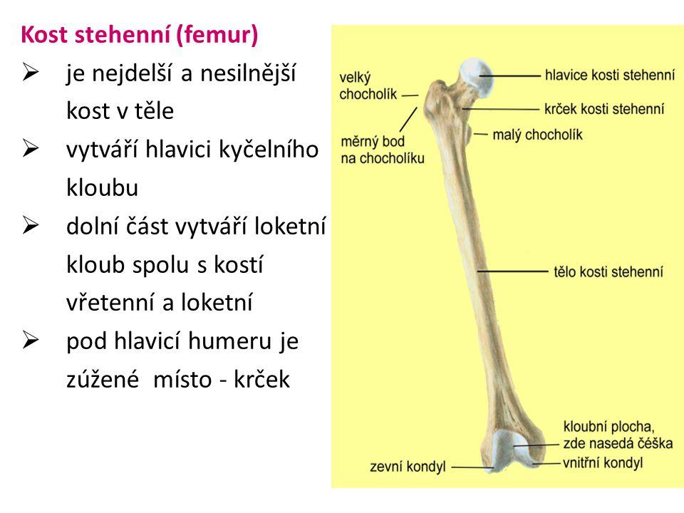 Kost stehenní (femur) je nejdelší a nesilnější. kost v těle. vytváří hlavici kyčelního. kloubu. dolní část vytváří loketní.