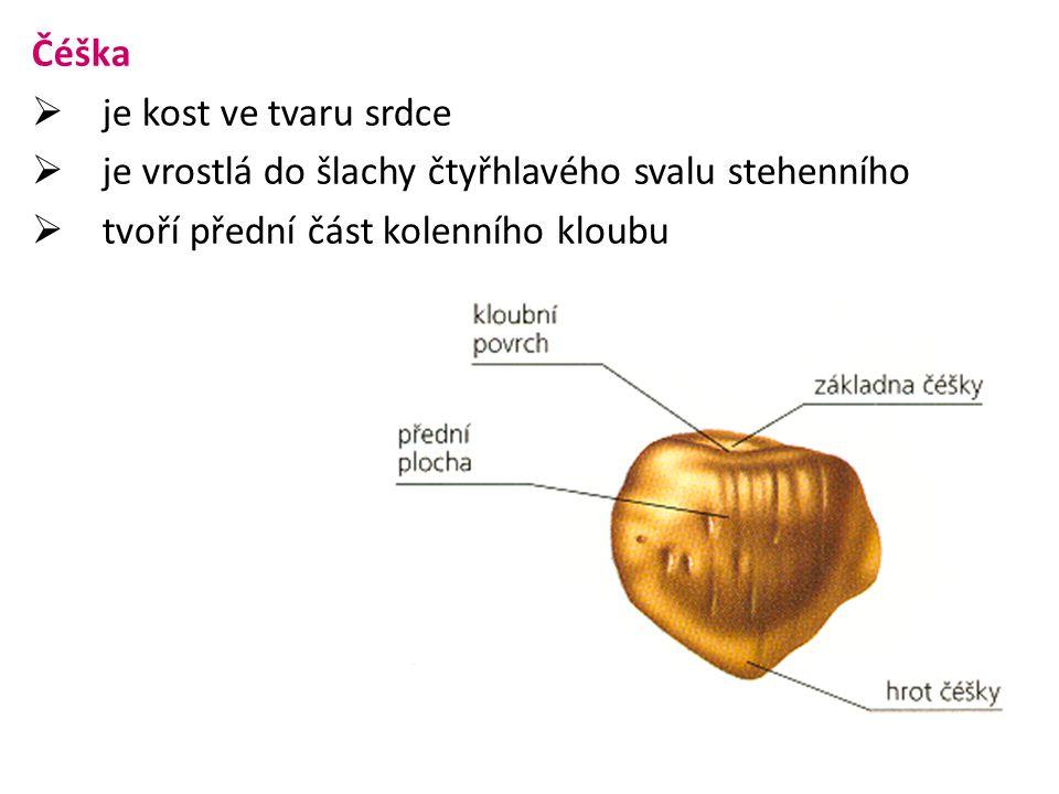 Čéška je kost ve tvaru srdce. je vrostlá do šlachy čtyřhlavého svalu stehenního.