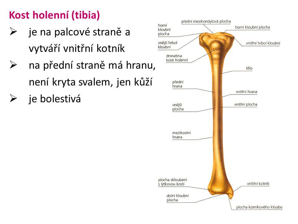 Kost holenní (tibia) je na palcové straně a. vytváří vnitřní kotník. na přední straně má hranu, není kryta svalem, jen kůží.