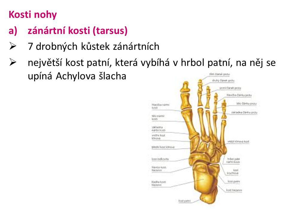 Kosti nohy zánártní kosti (tarsus) 7 drobných kůstek zánártních.
