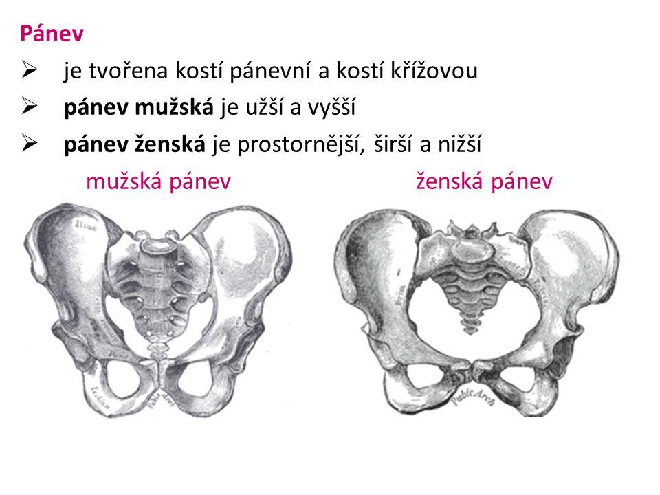 Pánev je tvořena kostí pánevní a kostí křížovou. pánev mužská je užší a vyšší. pánev ženská je prostornější, širší a nižší.