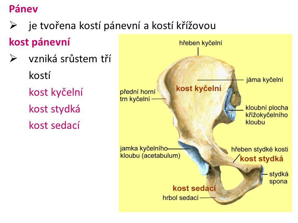 Pánev je tvořena kostí pánevní a kostí křížovou. kost pánevní. vzniká srůstem tří. kostí. kost kyčelní.