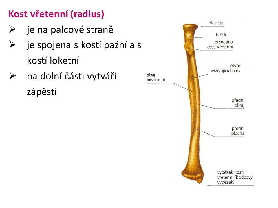 Kost vřetenní (radius)