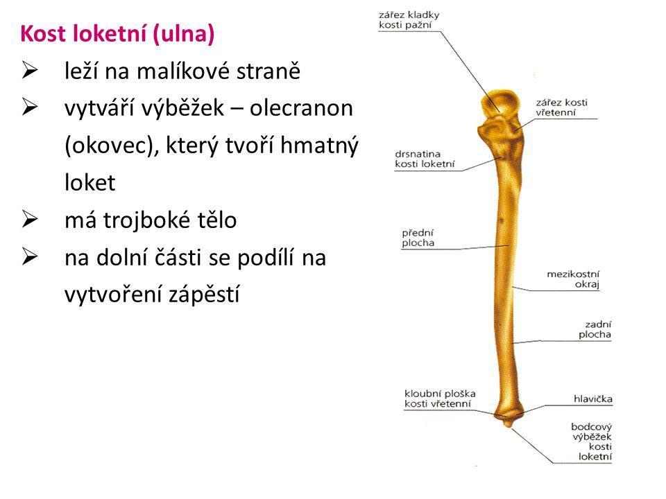 Kost loketní (ulna) leží na malíkové straně. vytváří výběžek – olecranon. (okovec), který tvoří hmatný.