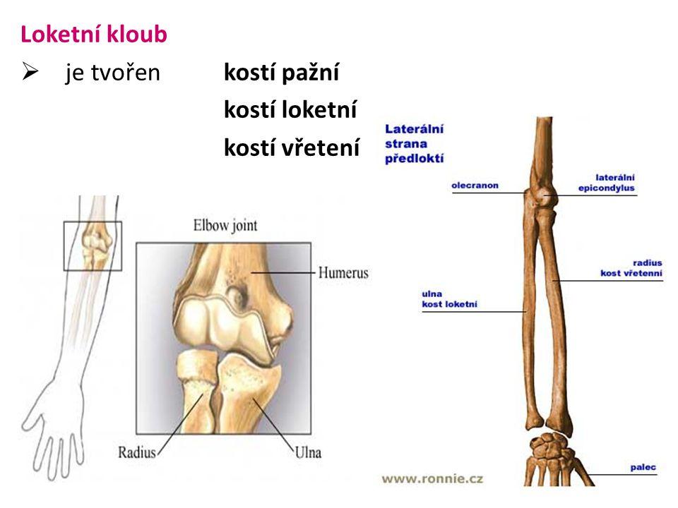 Loketní kloub je tvořen kostí pažní kostí loketní kostí vřetení
