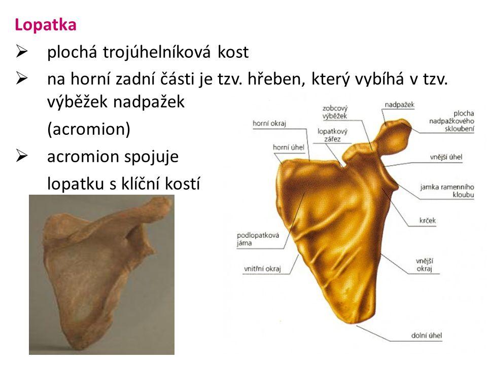 Lopatka plochá trojúhelníková kost. na horní zadní části je tzv. hřeben, který vybíhá v tzv. výběžek nadpažek.