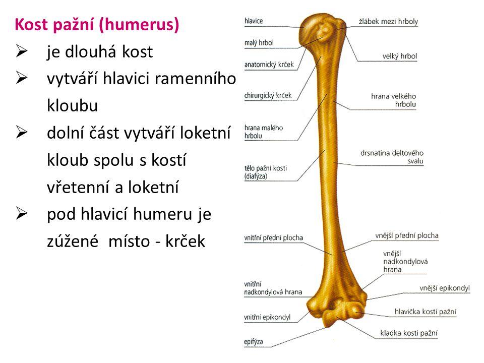 Kost pažní (humerus) je dlouhá kost. vytváří hlavici ramenního. kloubu. dolní část vytváří loketní.