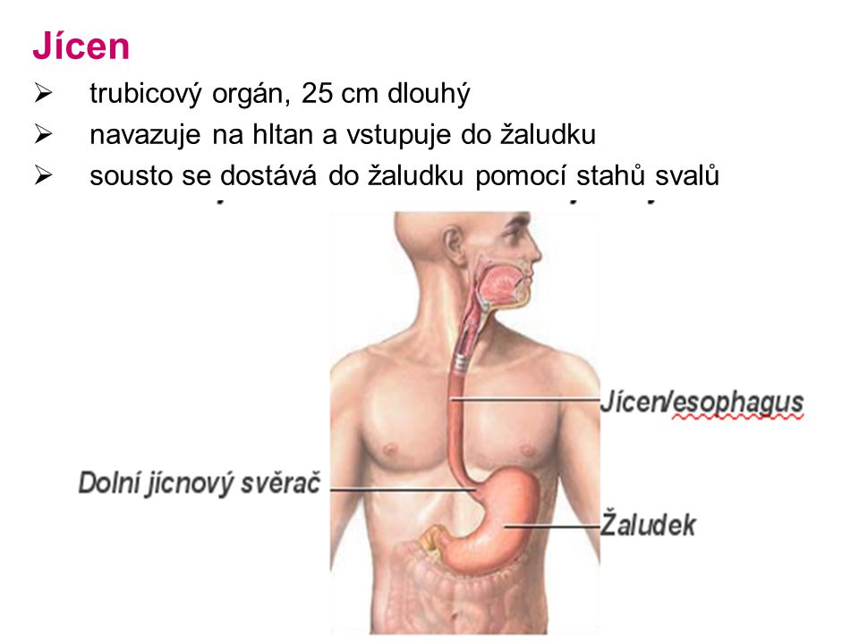 Jícen trubicový orgán, 25 cm dlouhý