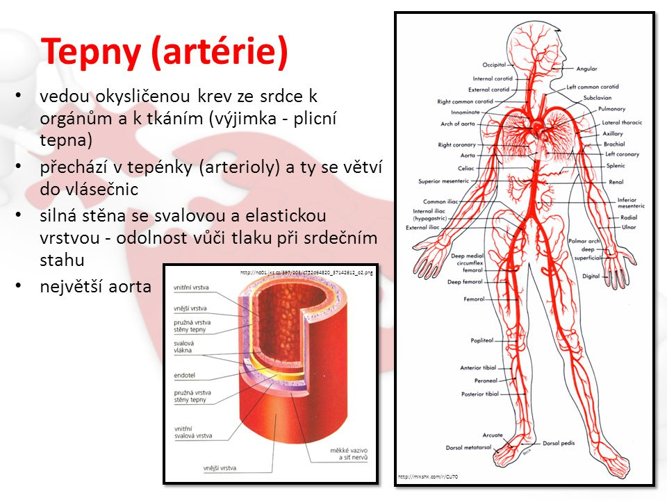 Tepny (artérie) vedou okysličenou krev ze srdce k orgánům a k tkáním (výjimka - plicní tepna)