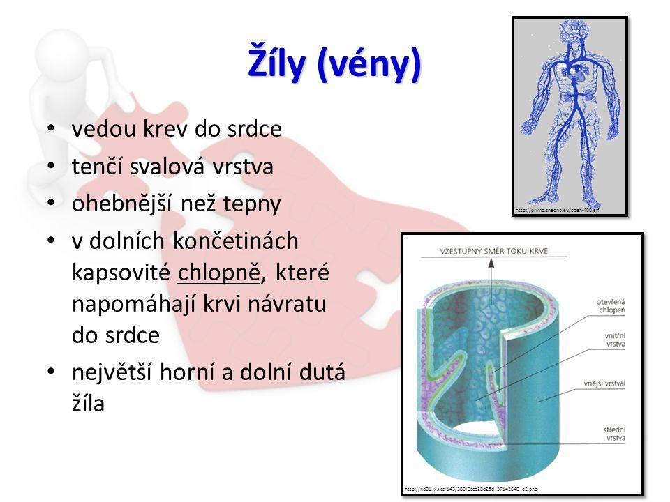 Žíly (vény) vedou krev do srdce tenčí svalová vrstva