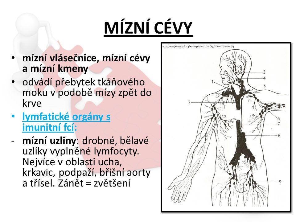 MÍZNÍ CÉVY mízní vlásečnice, mízní cévy a mízní kmeny