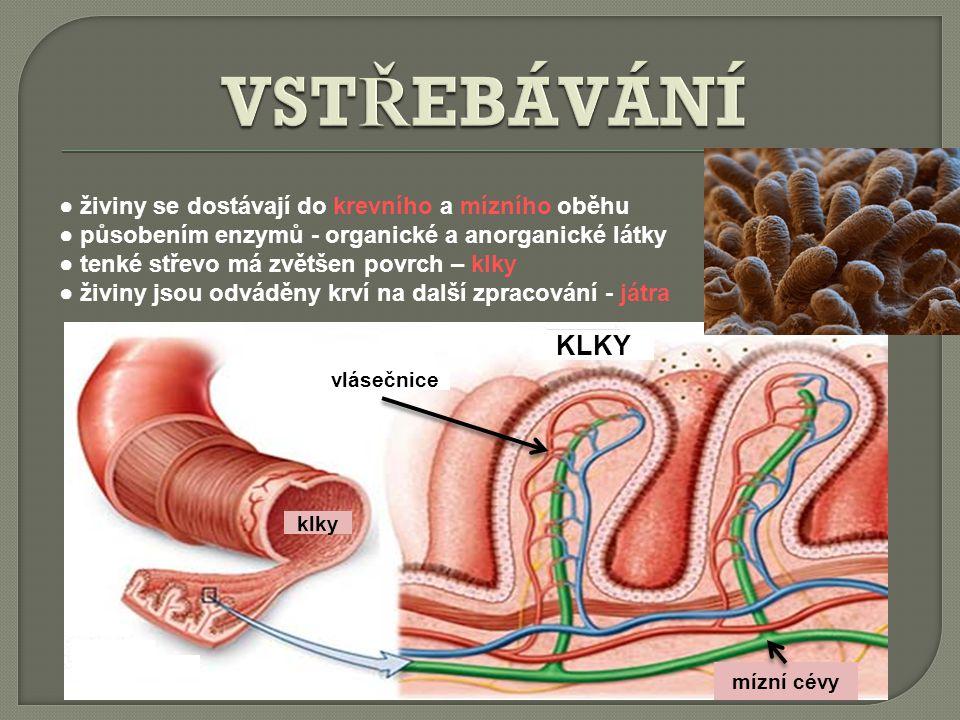 VSTŘEBÁVÁNÍ KLKY ● živiny se dostávají do krevního a mízního oběhu