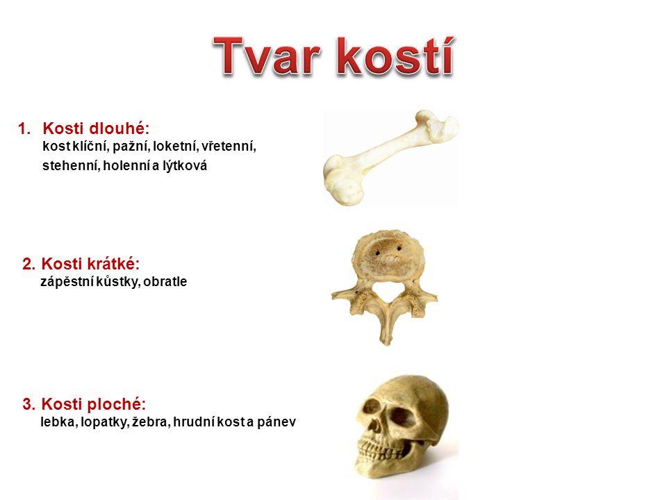 Tvar kostí Kosti dlouhé: 2. Kosti krátké: 3. Kosti ploché: