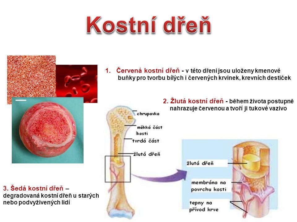 Kostní dřeň Červená kostní dřeň - v této dřeni jsou uloženy kmenové
