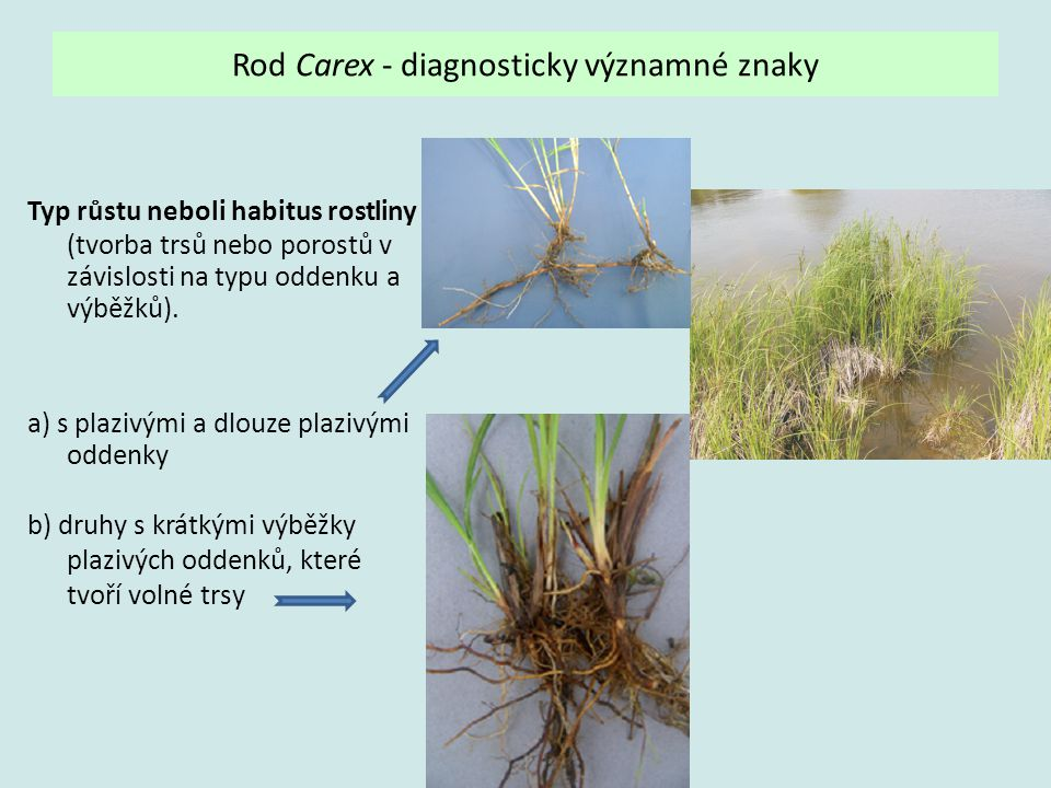 Rod Carex - diagnosticky významné znaky