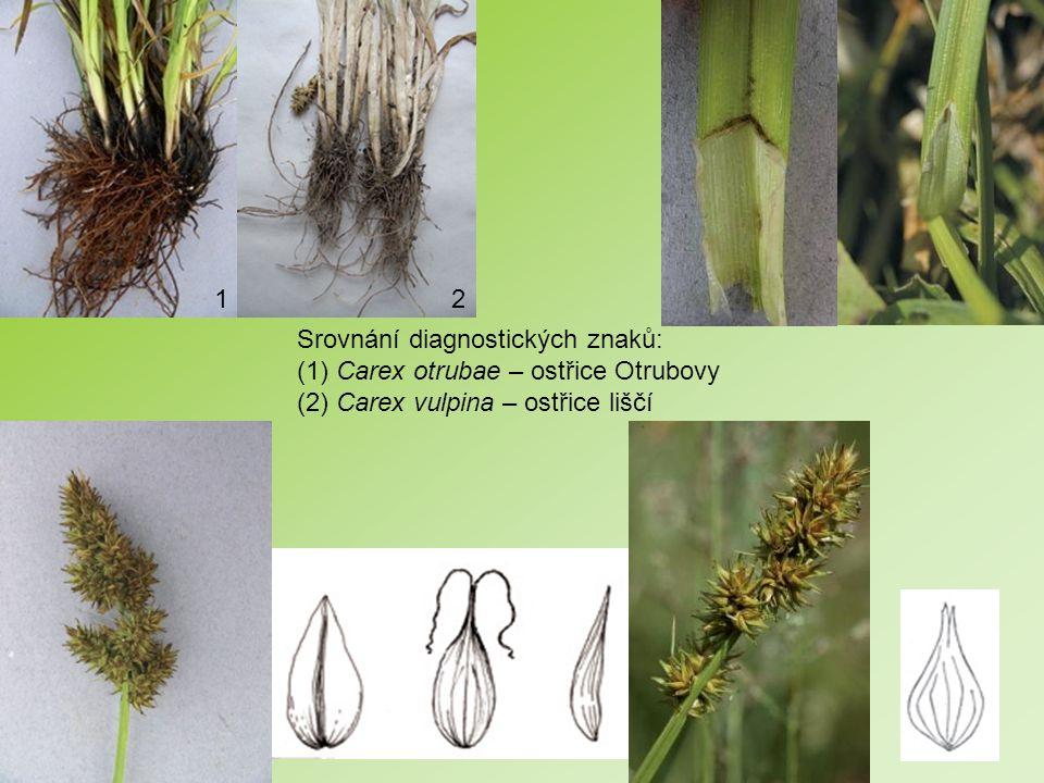1 2. Srovnání diagnostických znaků: (1) Carex otrubae – ostřice Otrubovy.