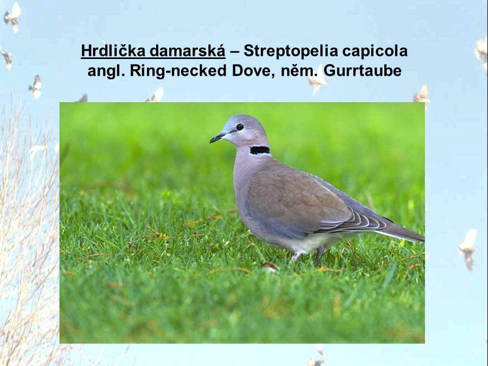 Hrdlička damarská – Streptopelia capicola angl. Ring-necked Dove, něm