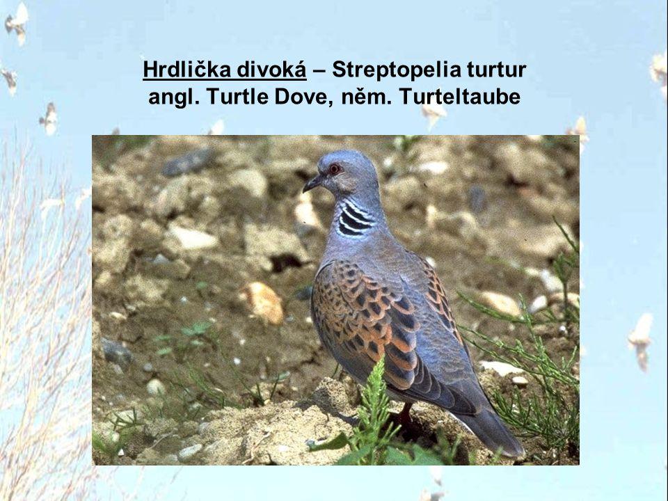 Hrdlička divoká – Streptopelia turtur angl. Turtle Dove, něm
