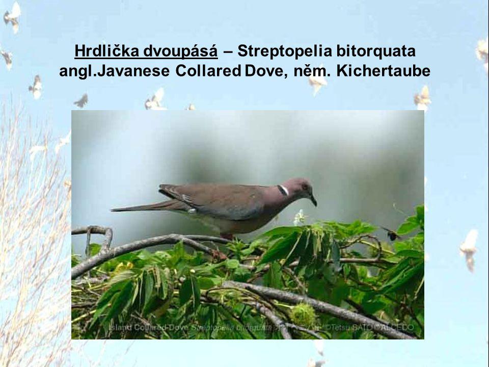 Hrdlička dvoupásá – Streptopelia bitorquata angl
