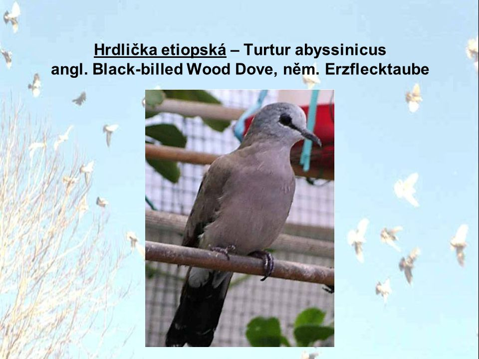 Hrdlička etiopská – Turtur abyssinicus angl