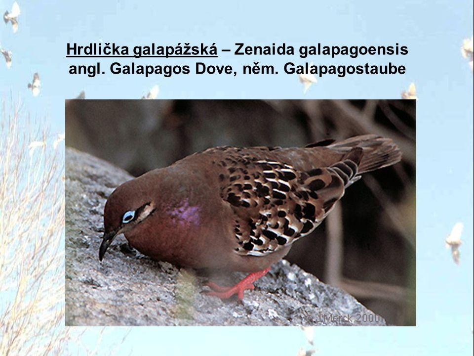 Hrdlička galapážská – Zenaida galapagoensis angl. Galapagos Dove, něm