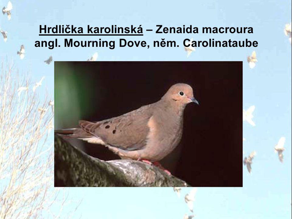 Hrdlička karolinská – Zenaida macroura angl. Mourning Dove, něm