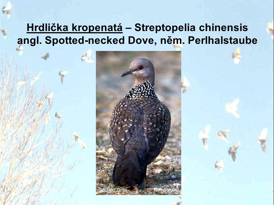 Hrdlička kropenatá – Streptopelia chinensis angl