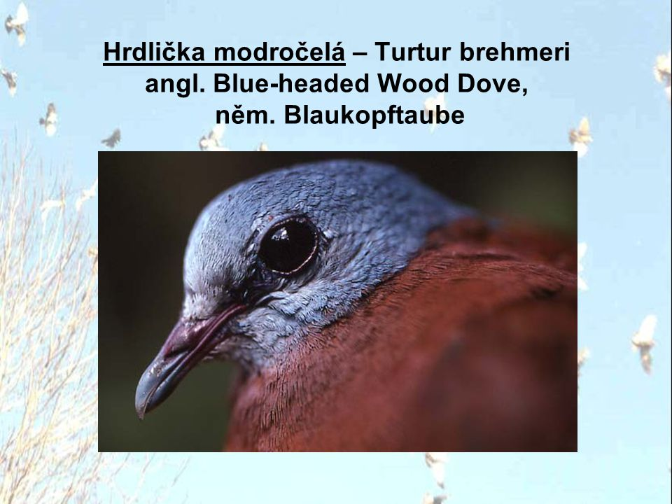 Hrdlička modročelá – Turtur brehmeri angl. Blue-headed Wood Dove, něm