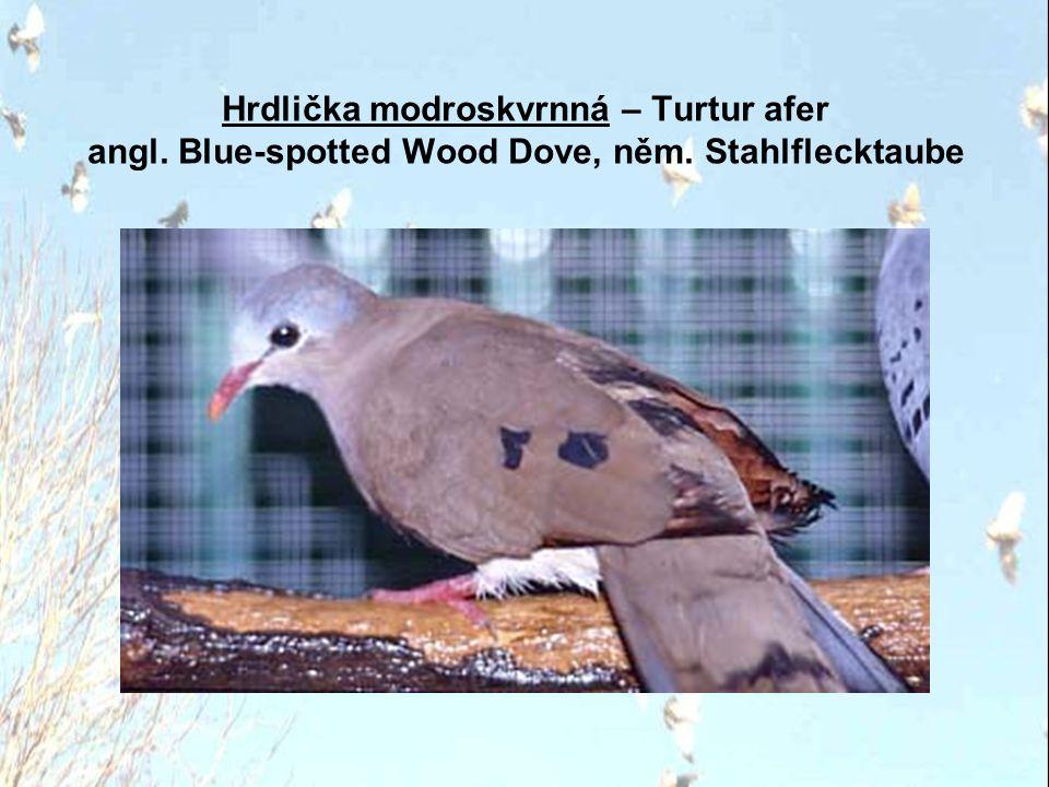 Hrdlička modroskvrnná – Turtur afer angl. Blue-spotted Wood Dove, něm