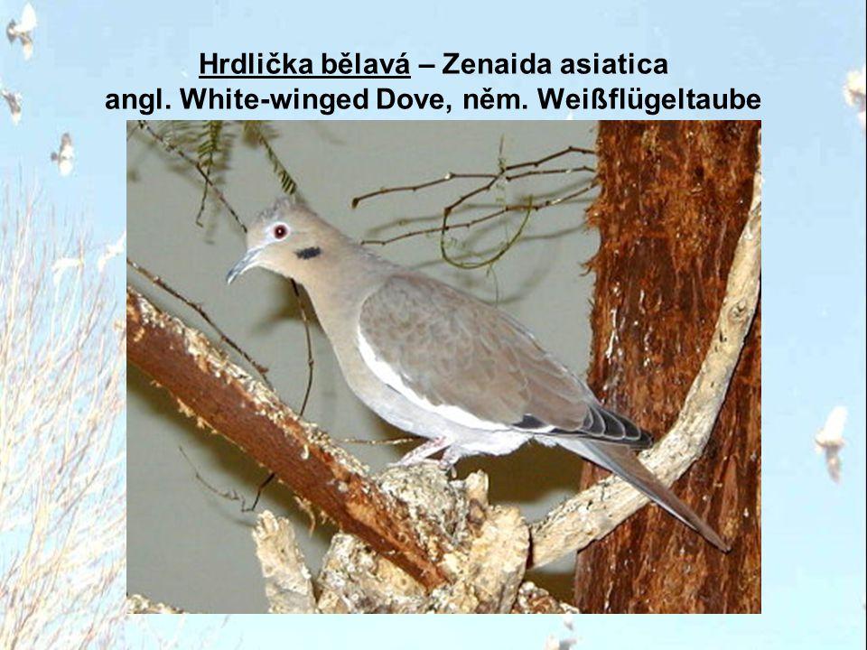 Hrdlička bělavá – Zenaida asiatica angl. White-winged Dove, něm