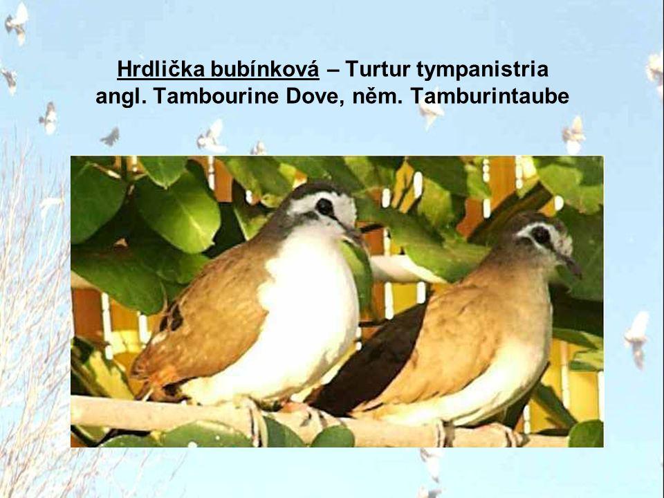 Hrdlička bubínková – Turtur tympanistria angl. Tambourine Dove, něm