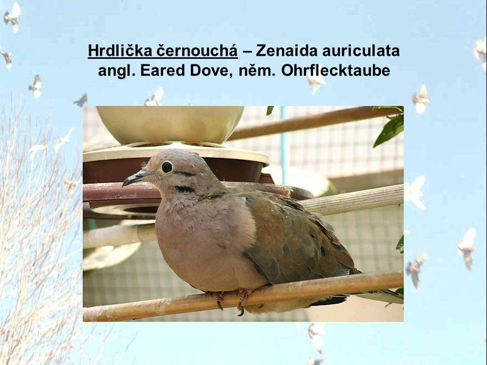 Hrdlička černouchá – Zenaida auriculata angl. Eared Dove, něm