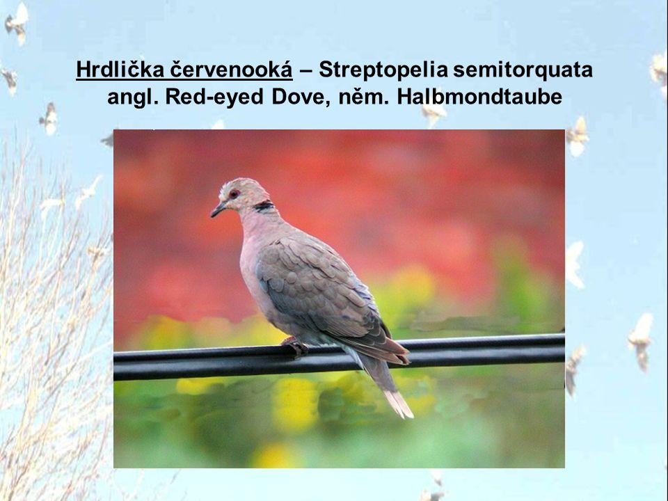 Hrdlička červenooká – Streptopelia semitorquata angl