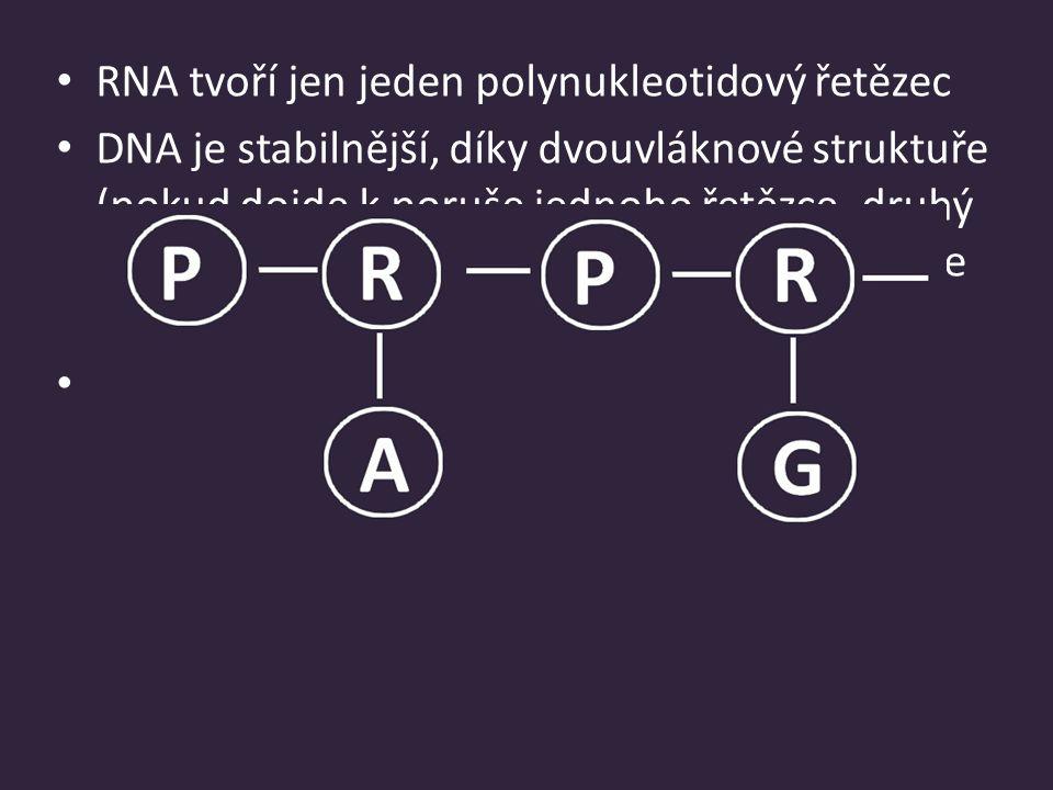 RNA tvoří jen jeden polynukleotidový řetězec