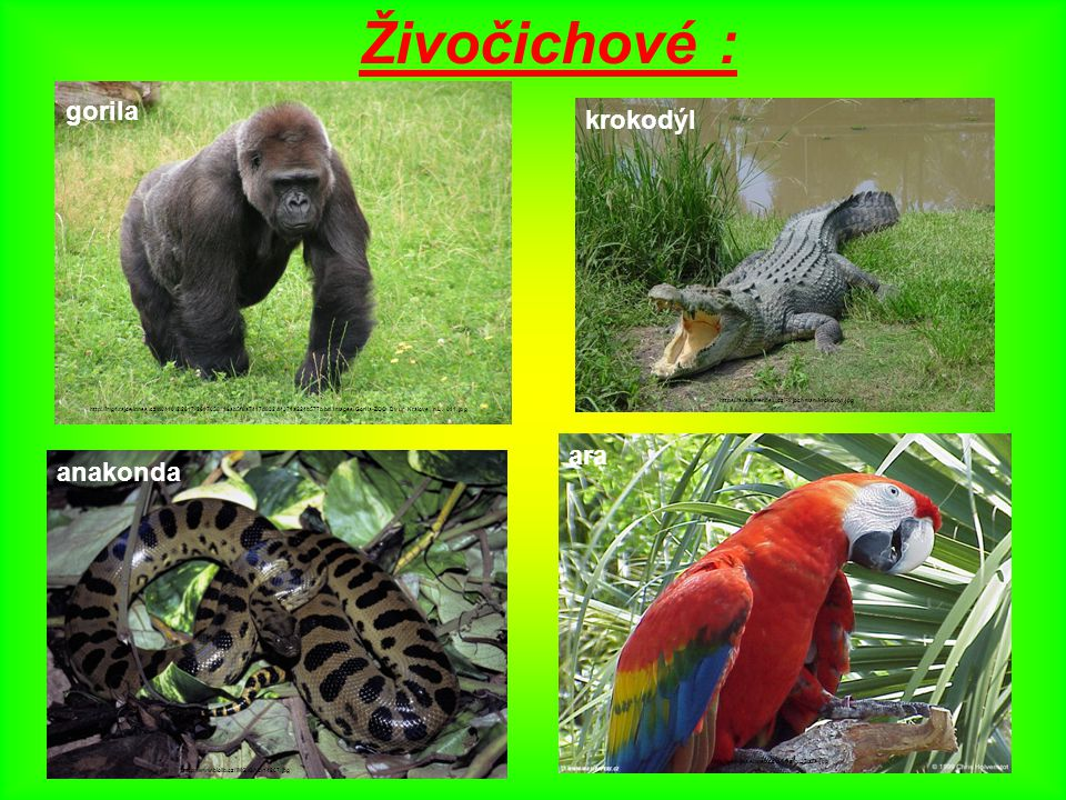 Živočichové : gorila gorila krokodýl ara anakonda